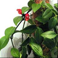 Eschynantus (Aeshynanthus).
