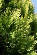 Rośliny iglaste. Fot. Fotolia