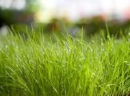 Po długiej zimie z obfitymi opadami może zdarzyć się, że po stopnieniu śniegu na trawniku pojawią się brązowe, różowawe lub szare plamy.